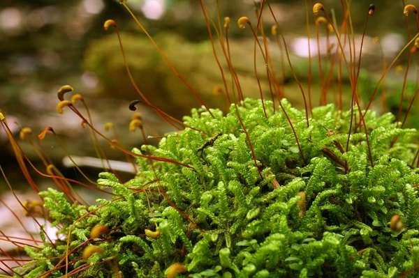 Мхи виды мхов с названиями и фото