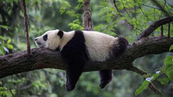 Спит ли панда? - Телеканал О!