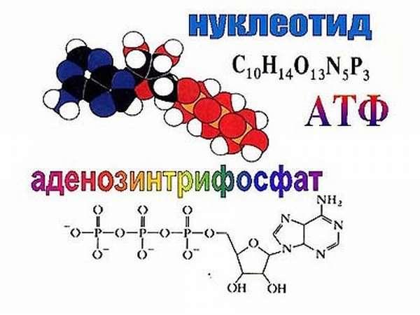 Что такое ДНК и РНК: каковы функции нуклеиновых кислот в клетке