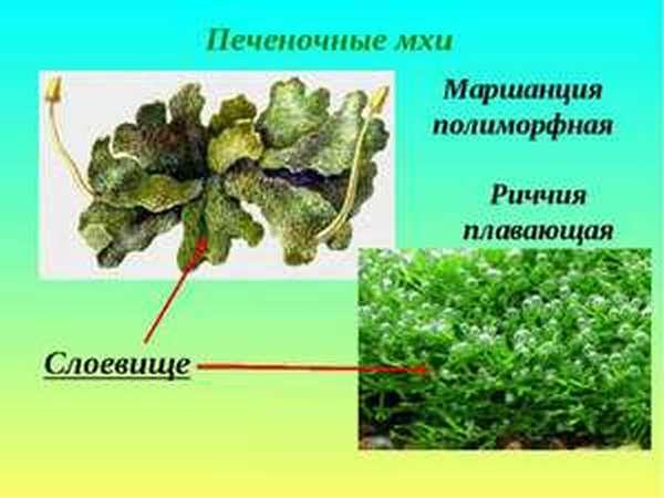 Мохообразные растения