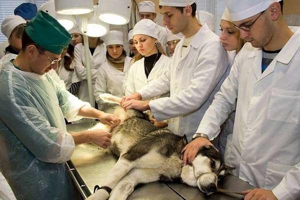 Профессия ветеринар плюсы и минусы работы, где можно выучиться на ветеринарного врача
