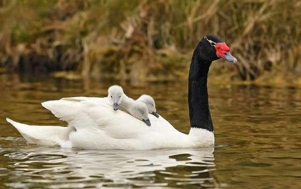 Белый лебедь - птица благородного полета | Бит Жизни!