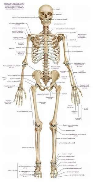 Как устроено тело человека