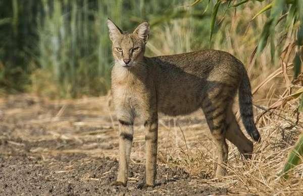 Дикий лесной камышовый кот или хаус: описание, цена, фото диких ...