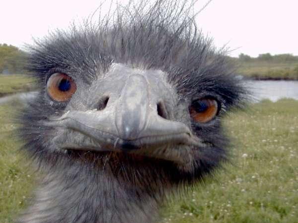 Страус (Ostrich): masterok