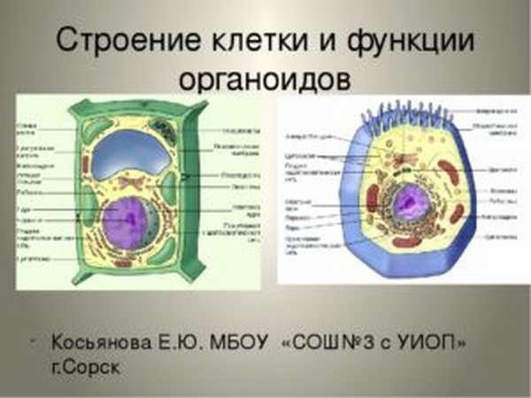 органоиды клетки таблица