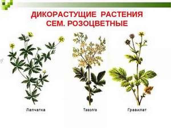 как использовать дикорастущие растения