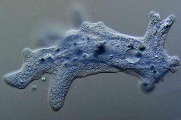 Амеба что такое в биологии, строение и жизненный цикл