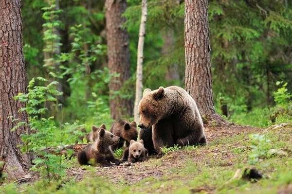 Как защититься в лесу от дикого зверя? Советы опытного туриста ...