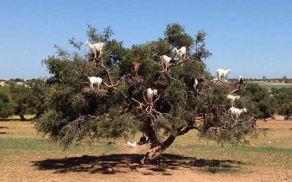 Аргания - Козлиное Дерево в Марокко