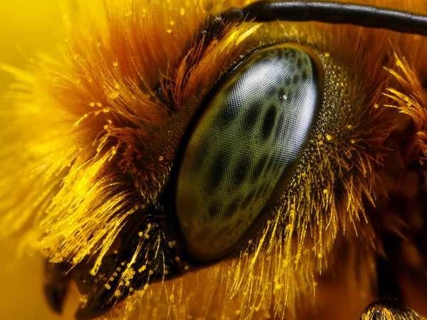 Оба глаза пчелы