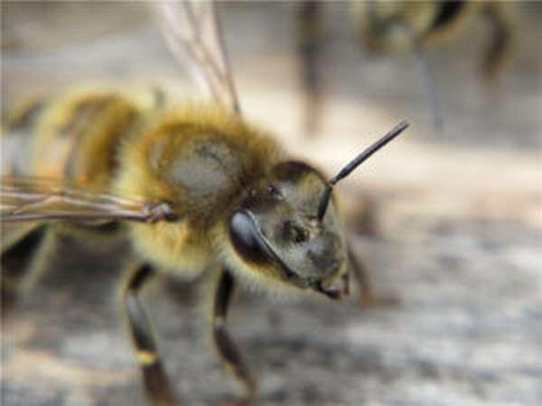 сколько пар сложных глаз имеет медоносная пчела