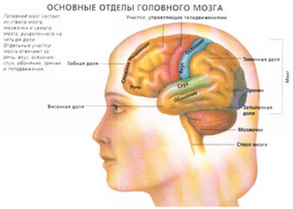 Головной мозг доли