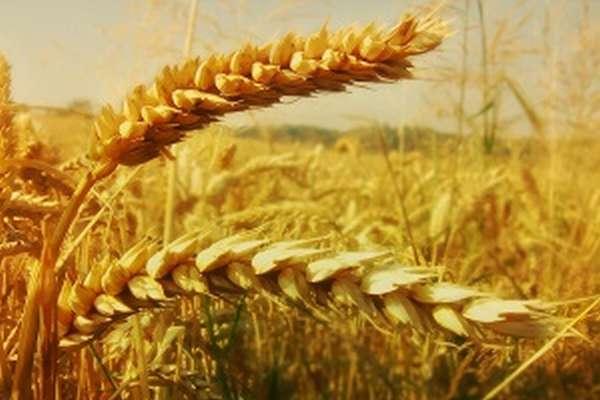Зерновые культуры: виды, особенности, возделывание
