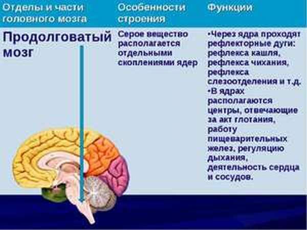 Из чего состоит продолговатый мозг