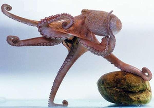 Сколько ног у осьминога