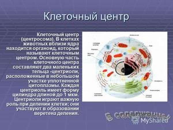 Что такое клеточный центр