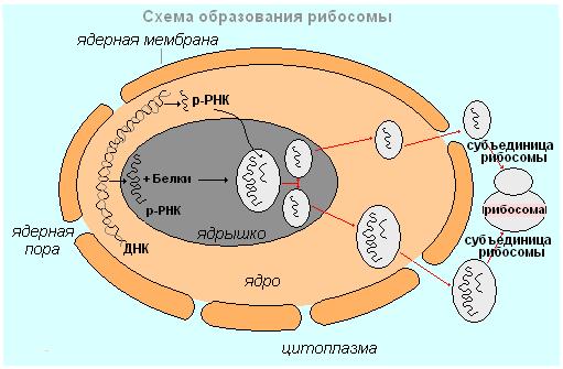 Рибосомы строение и функции
