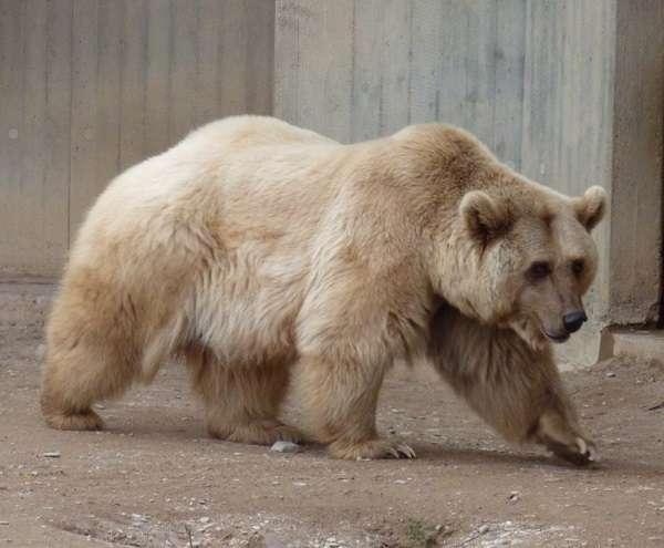 Популяция бурого и белого медведя