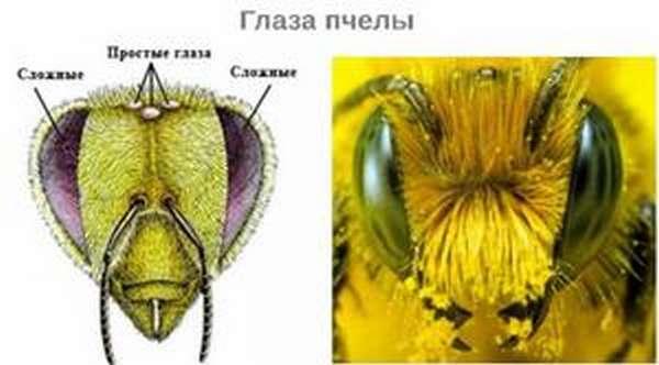 Глаз пчелы под микроскопом