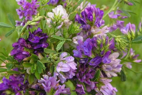 Люцерна виды и сорта растения с фото и названиями