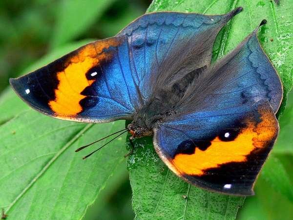 Экзотические бабочки Африки, Южной Америки, Азии и Австралии.: amazanga