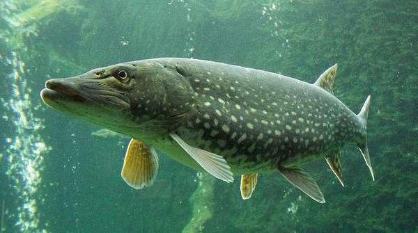 Особенности русской рыбалки на щуку: советы для эффективной ловли