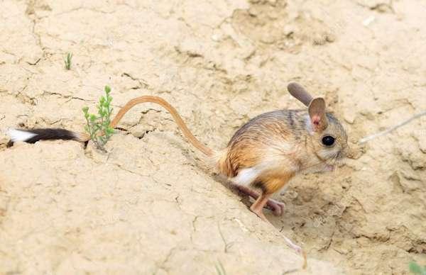 Как живут и чем питаются тушканчики в пустыне: описание внешнего ...