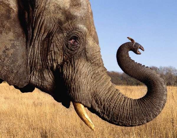 Слон – описание, виды, где живет, чем питается, фото