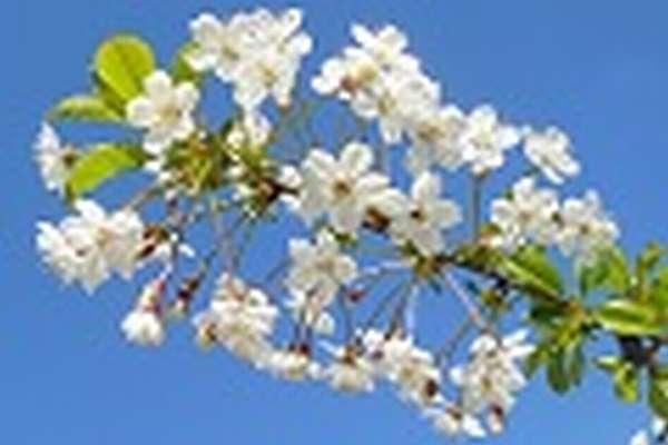 Cоцветие что такое