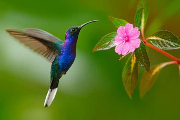 Колибри: факты о самой маленькой птице в мире   Geo - Непознанный ...