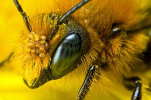сколько у пчел глаз
