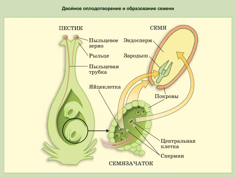 виды соцветий (главный ключ)