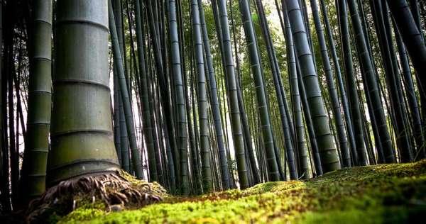 корни бамбука