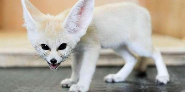 Фенек: уши и немного лисички! : Хобби : Стиль жизни : Subscribe.Ru