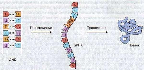 Биосинтез белка в клетке кратко и понятно