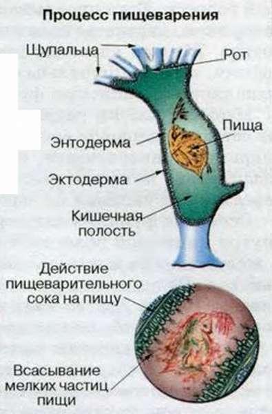 Тип кишечнополостные общая характеристика