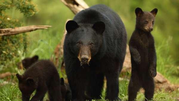 Барибал: черный или белый медведь?
