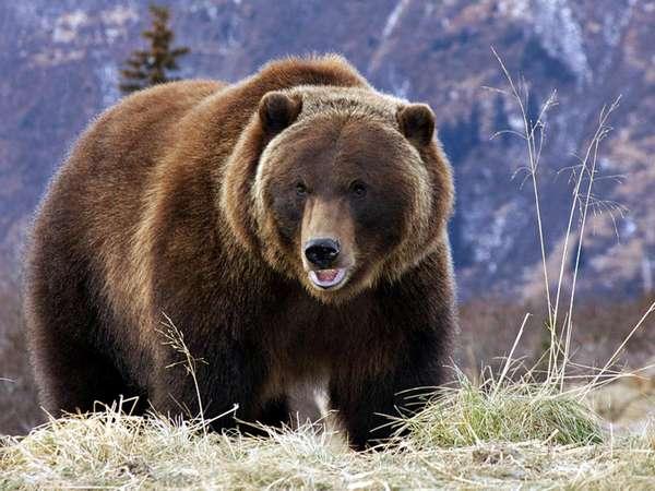 Бурый медведь краткая информация
