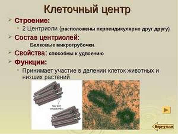 Функции клеточного центра