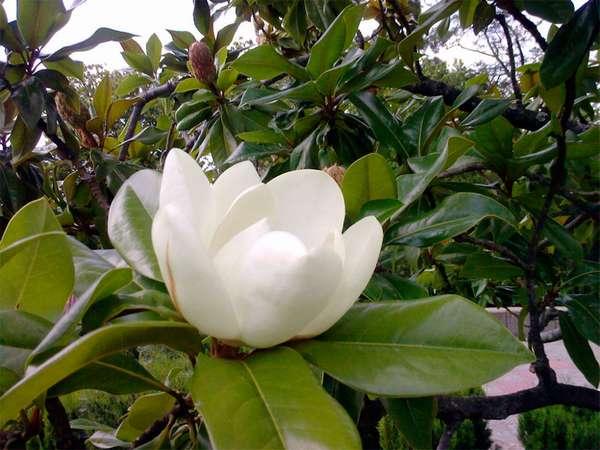 Магнолия крупноцветковая (Magnolia grandiflora) — Никитский ...