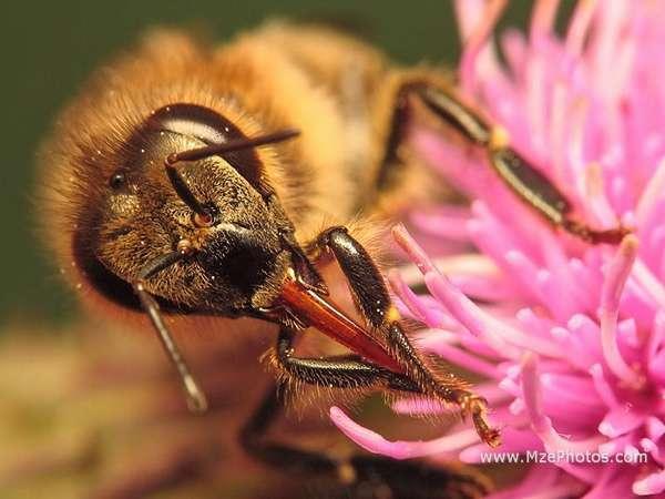 Органы зрения пчелы