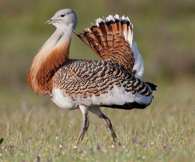 Птица дрофа (фото): Быстрый степной обитатель
