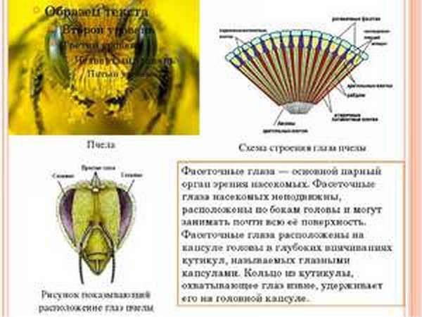 Схема строения глаз пчелы