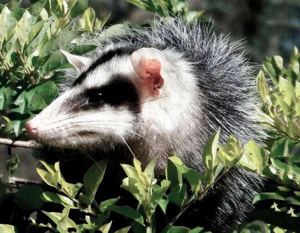 Белобрюхий опоссум   Мир животных и растений