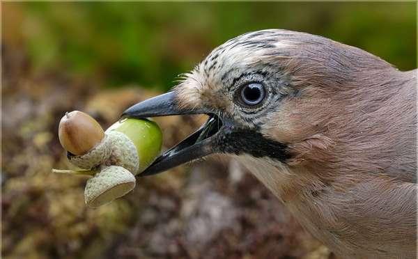 Птица сойка: как выглядит, чем питается, как размножается