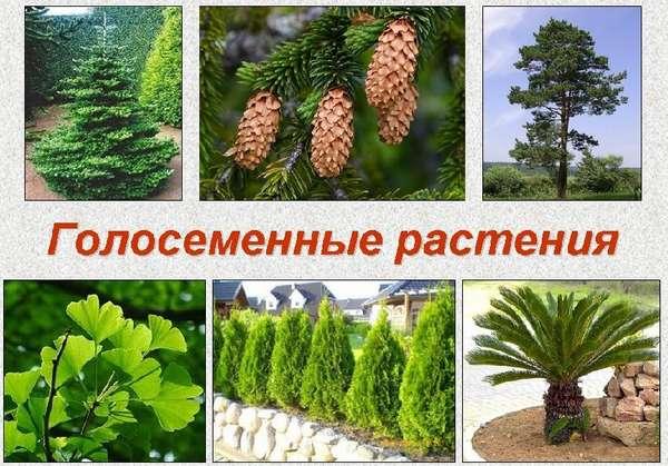 какие признаки характерны для хвойных растений