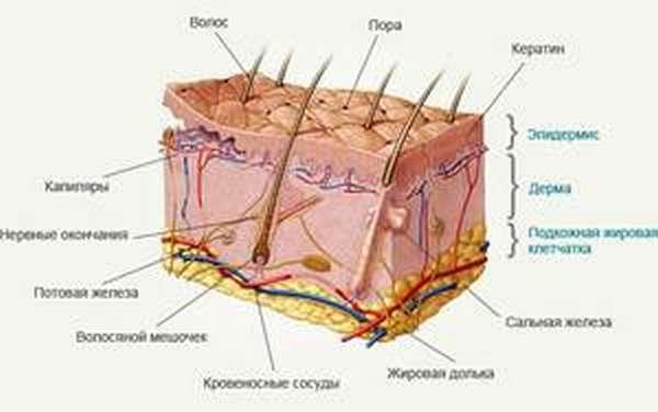 Как устроена кожа человека